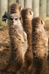 Networking like Meerkats